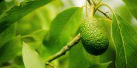 Avocado - Baum